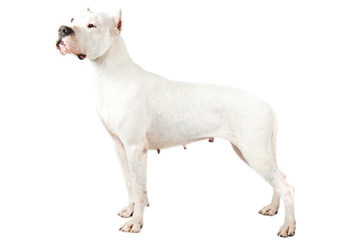 10 อันดับ สายพันธุ์น้องหมาที่แพงที่สุดในโลก Dogo Argentino