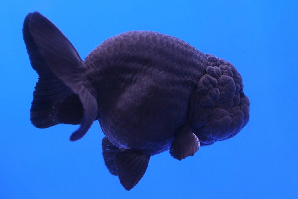 ปลาทองหัวสิงห์สยาม
