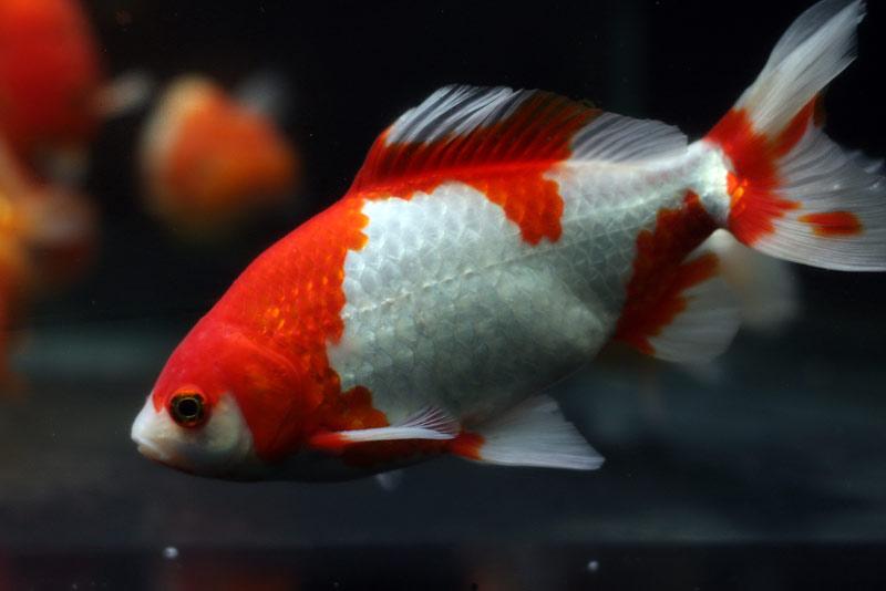 ปลาทองโคเมท